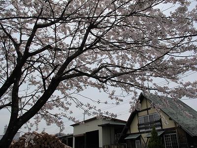 田村材木店の桜