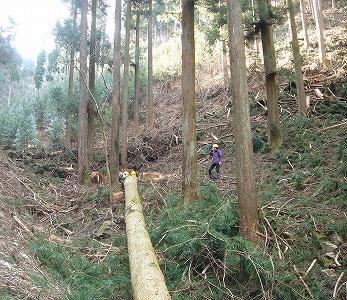 日光産杉 伐採